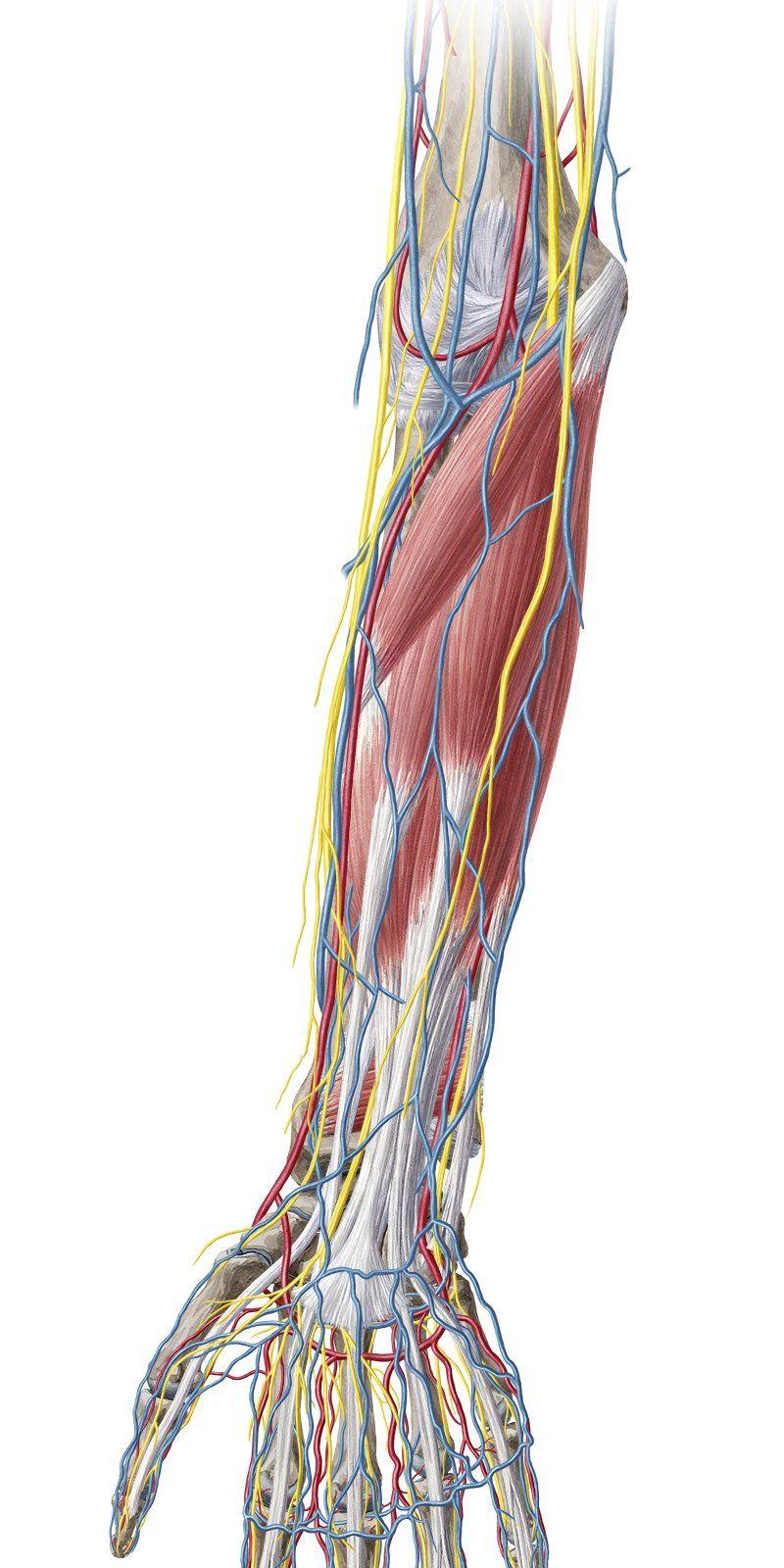 Elbow and forearm   Forearm anatomy, Anatomy study, Bones ...