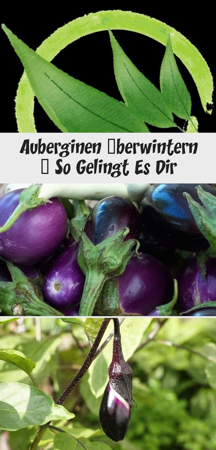 Auberginen Uberwintern So Gelingt Es Dir In 2020 Eggplant Vegetables