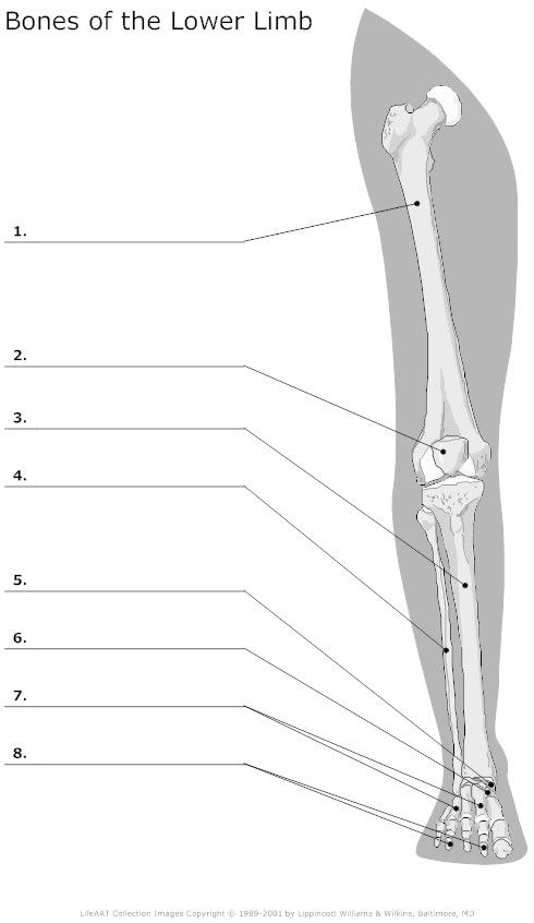 Bones of the Lower Limb Unlabeled Education Leg muscles anatomy
