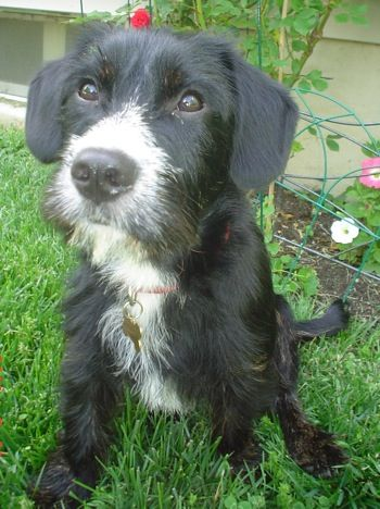 Cavottish Scottish Terrier Cavalier King Charles Mix Cute Hybrid Dogs Cavalier King Charles Spaniel Designer Dogs