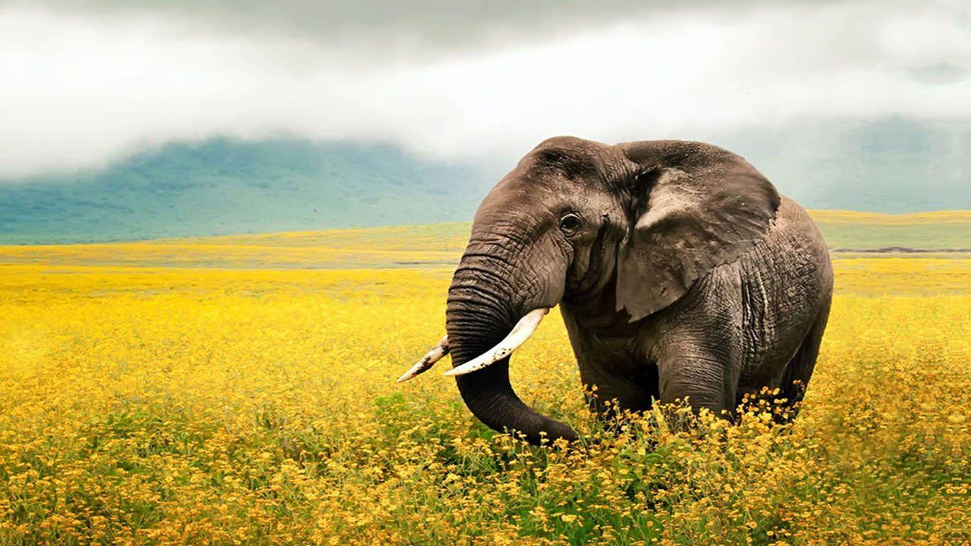 Nice Hd Elephant Desktop Wallpper Elephant Wallpaper Elephant Photography Elephant