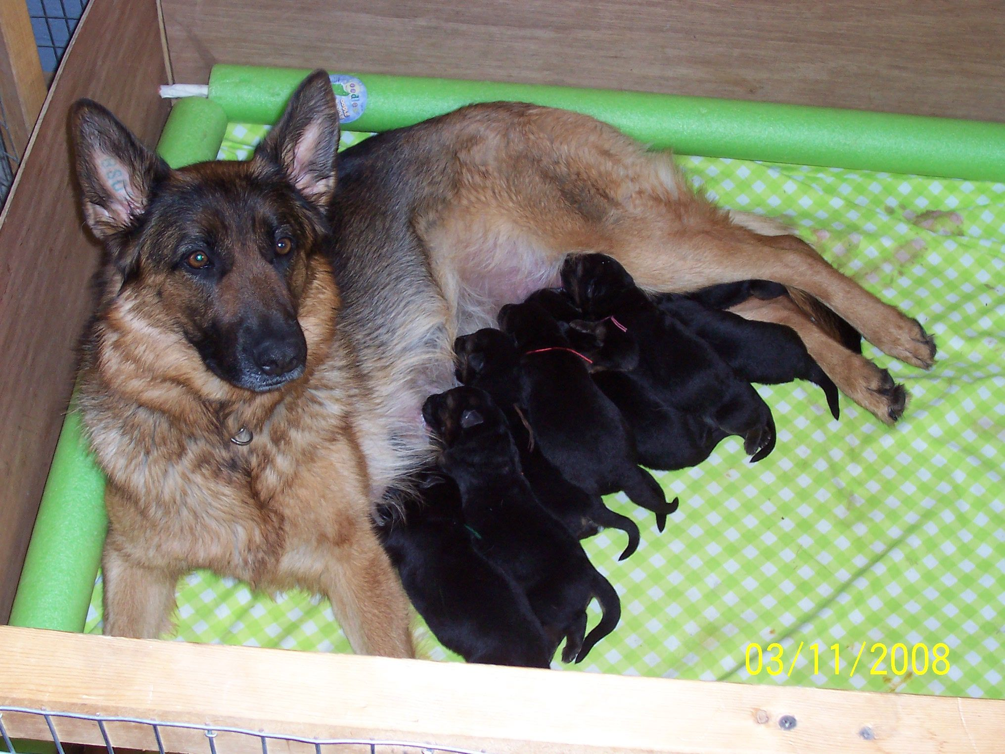 Newborn German Shepherd Puppies Detection Dogs Puppies Animals