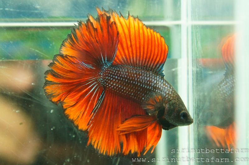 Fwbettashm1418356054 Full Moon Rose Tail D311 Betta Fish Betta Fish