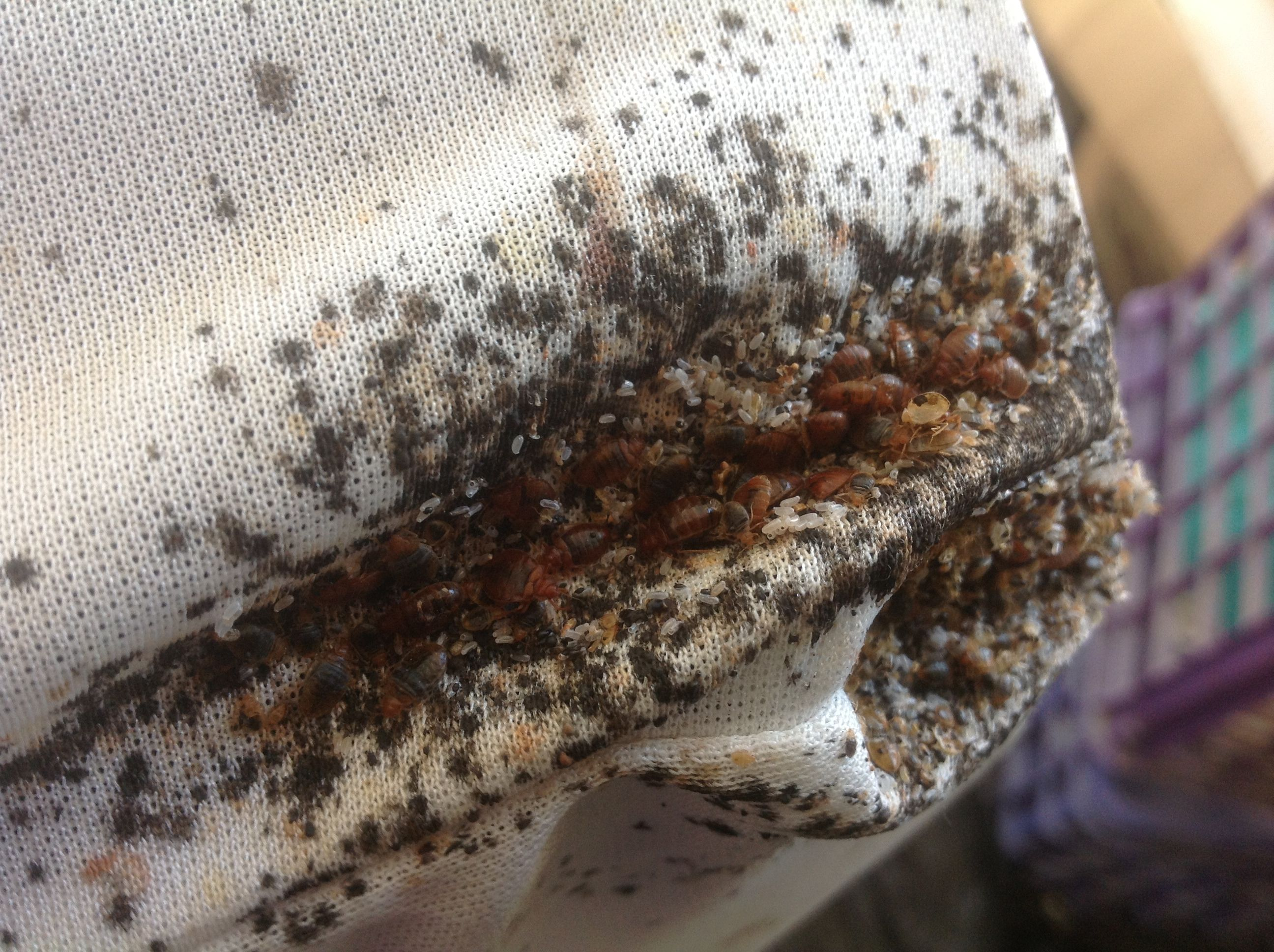Bed Bug Cluster On Mattress Bed Bugs Kill Bed Bugs Rid Of Bed Bugs