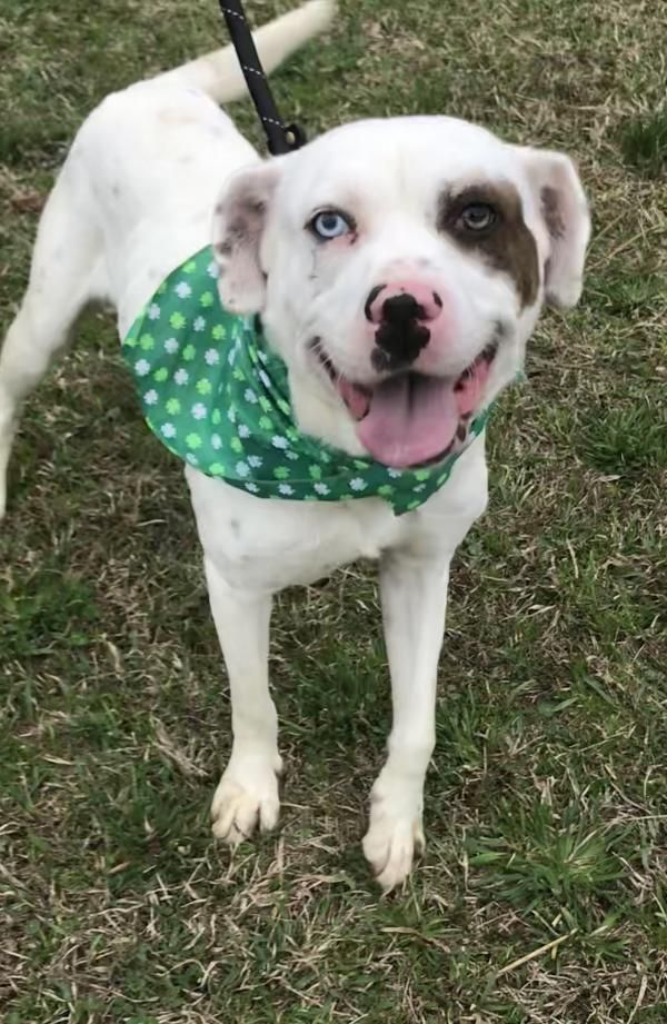 Adopt Camilla on Pitbull terrier, American pitbull
