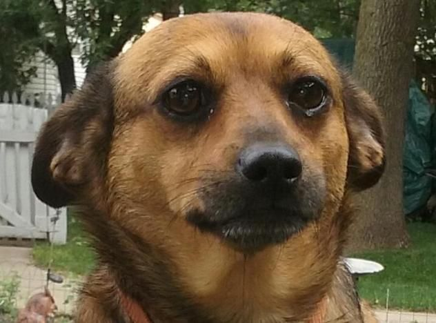 Adopt Chica On Chihuahua Dachshund Mix Labrador Retriever