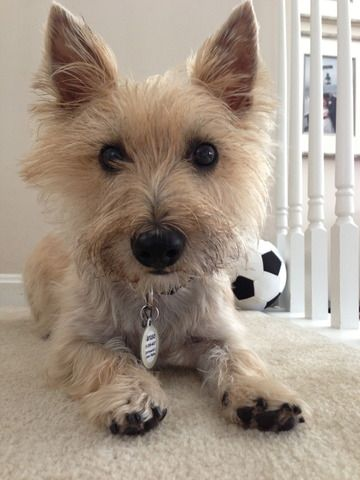Cpcrn Caruso In His Forever Home Cairn Terrier Terrier Rescue