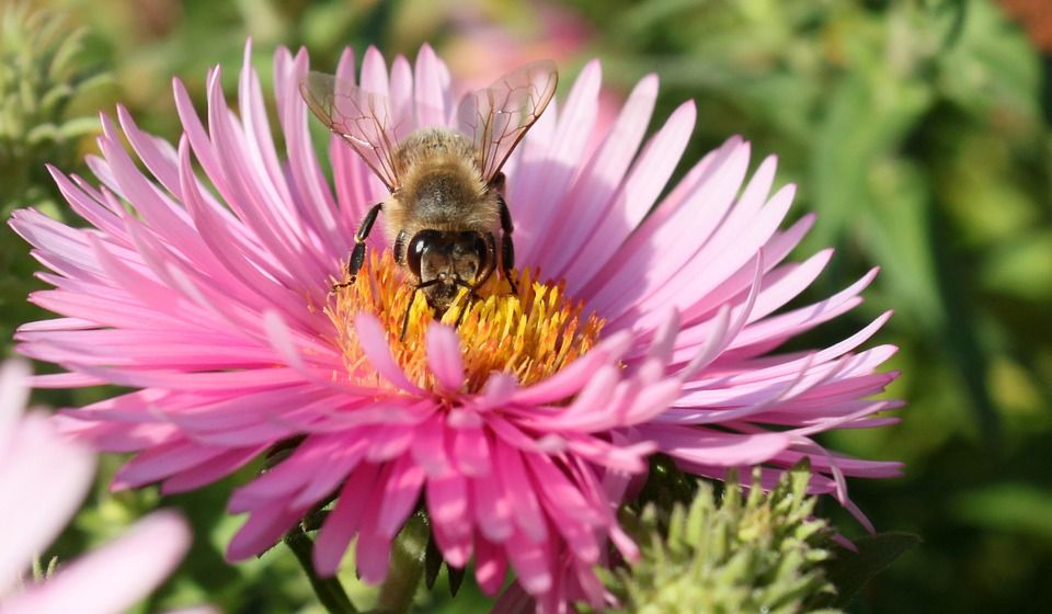 Kukka, Mehiläinen, Ampiainen, Makro, Violetti, Pölytys