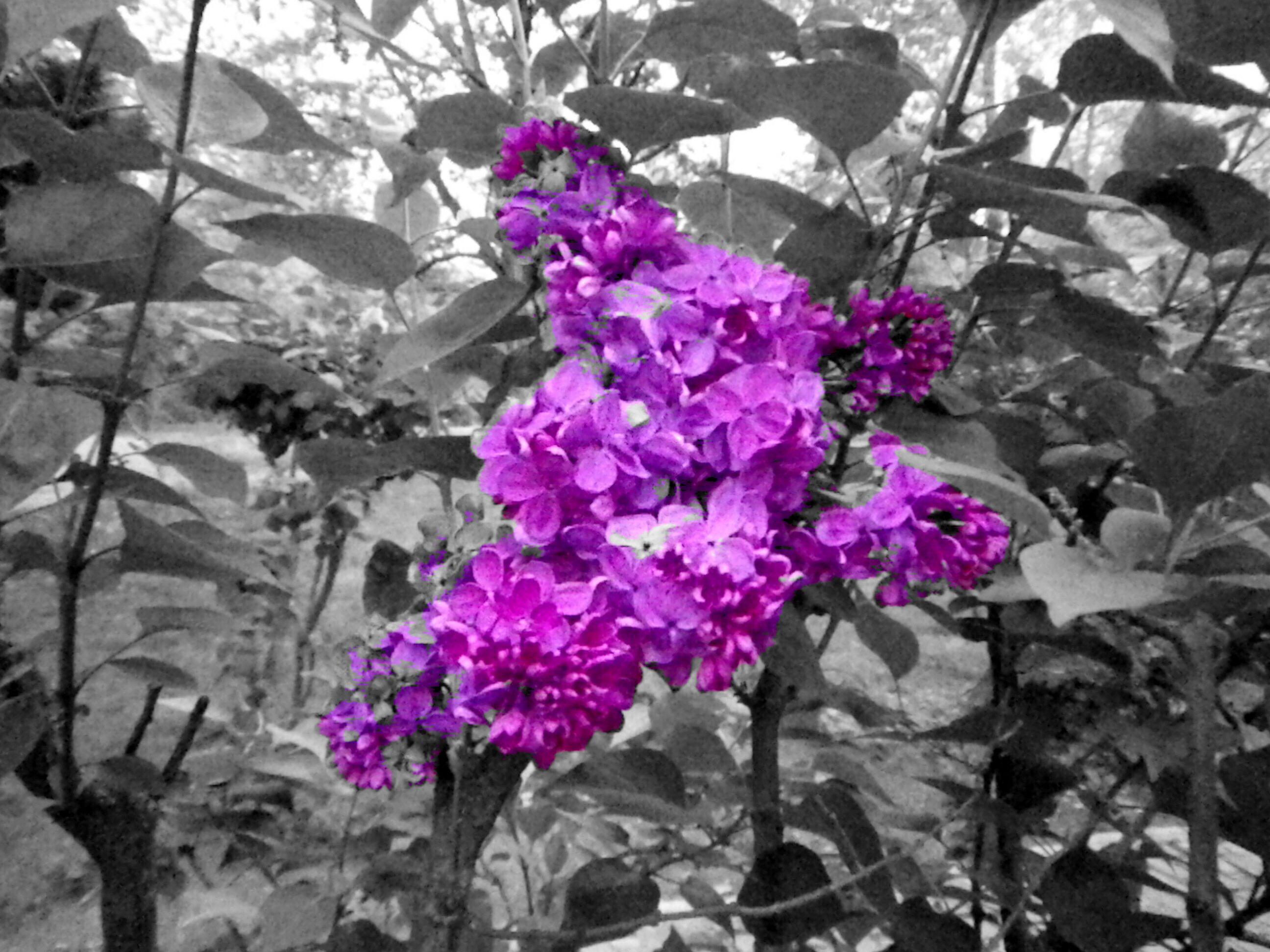 lilac edited