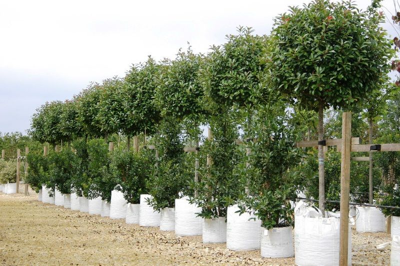 Photinia Red Robin Ideal Above A Fence Line For Screening