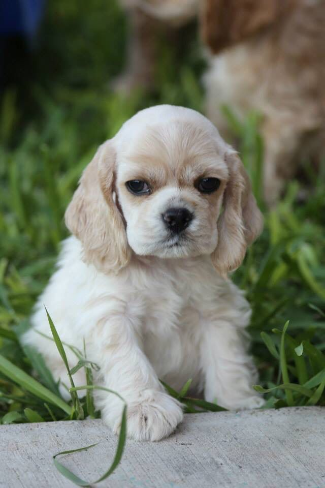 Dixie Cocker Spaniel Puppy For Sale In Ohio In 2020 Cocker Spaniel Puppies Spaniel Puppies Puppies