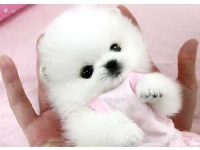 Tiny Toy Size Amazing Micro White Pomeranian Puppies Available