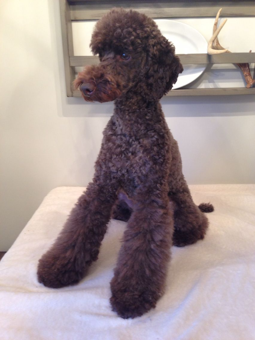 Pin On Doodles Poodles