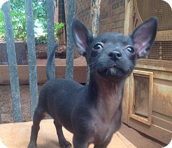 Hartford Ct Chihuahua Meet Chi Pup 3 A Puppy For Adoption