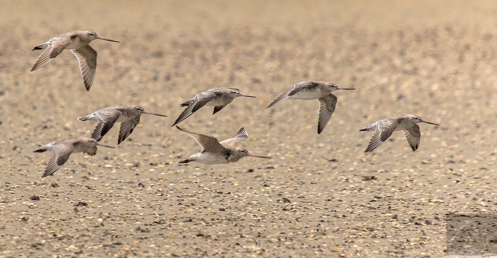 Bartailed godwits in flight nz tailed bar