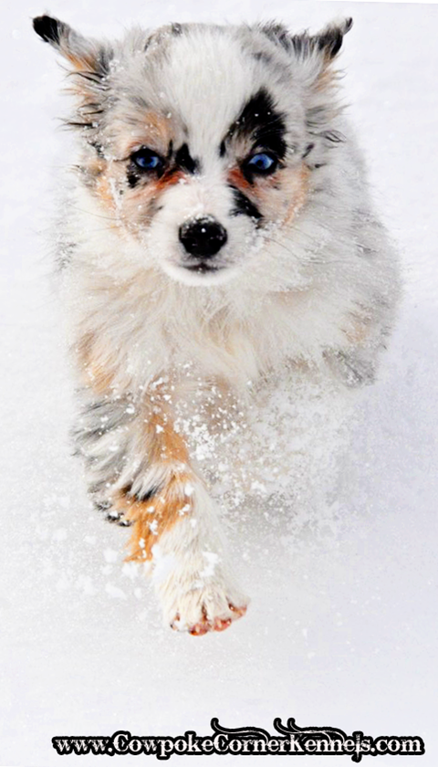 Wyoming Miniature Australian Shepherd