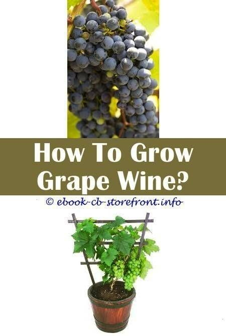 Sensational Clever Ideas How To You Grow Grapes how to you grow grapesGrape  3 Sensational Clever Ideas How To You Grow Grapes how to you grow grapesGrape  3 Sensational...