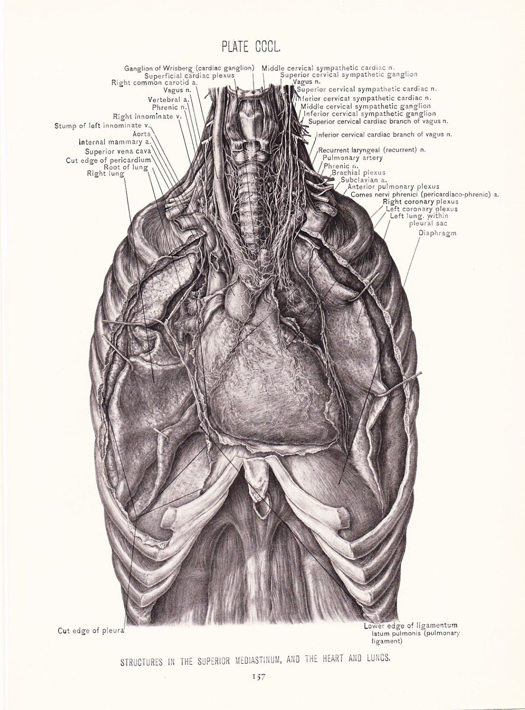 1926 Human Anatomy Print - Superior Mediastinum Heart Lungs ...