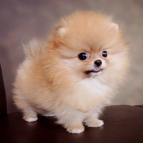 Cute Cute Baby Animals Pomeranian Puppy Cute Pomeranian