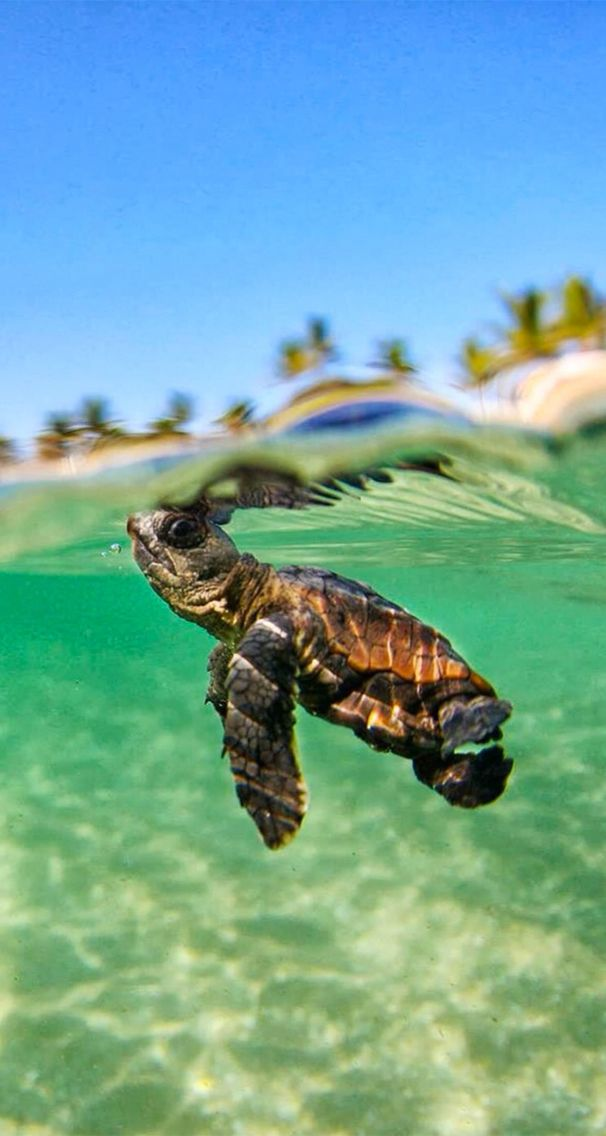 Baby Turtle iPhone Wallpaper (With images) Cute animals