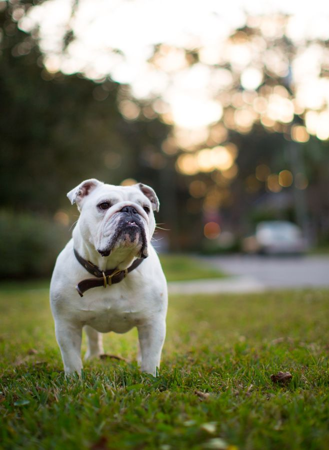 White English Bulldog Worldofbulldog This Will Be My Family Dog