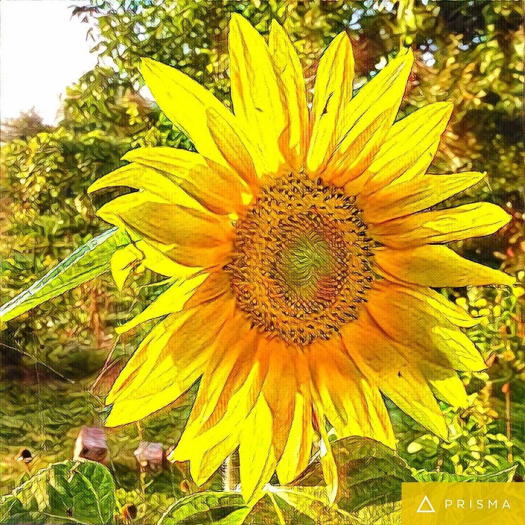 Kwiat Slonecznik Roslina Prisma Natura Dzialka Zolty Kolor Plants