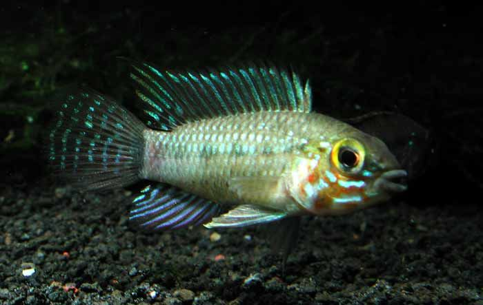Pin By D Sutton On Dwarf Cichlid S South American