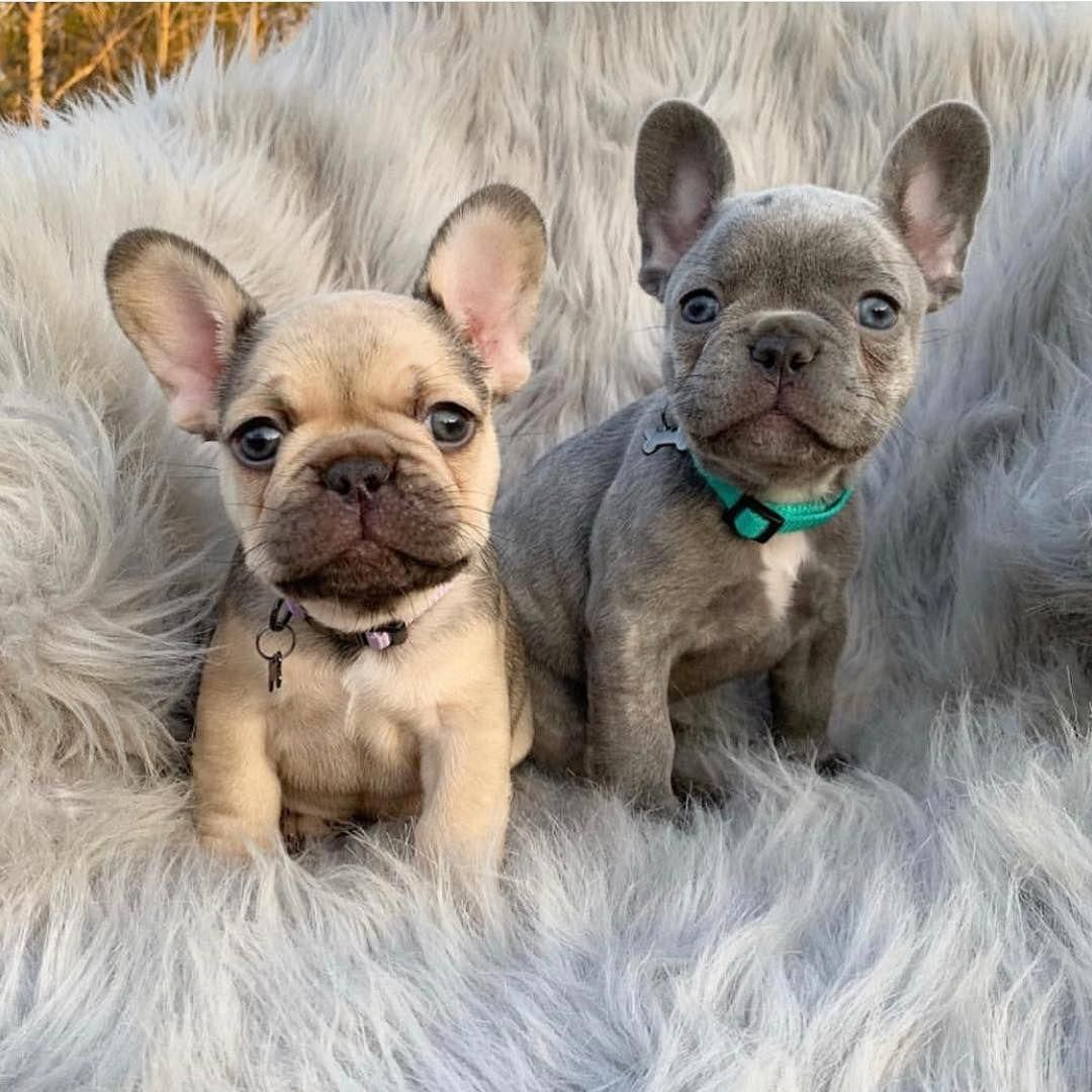 French Bulldog Playful And Smart In 2020 Bulldog Puppies