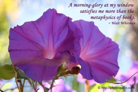 A Morning Glory At My Window Satisfies Me More Than The Metaphysics Of Books Walt Whitman Walt Whitman Flower Quotes Morning Glory