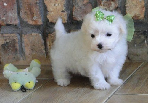 Snow White Maltese Puppies For Sale Cough Cough Mom Cough