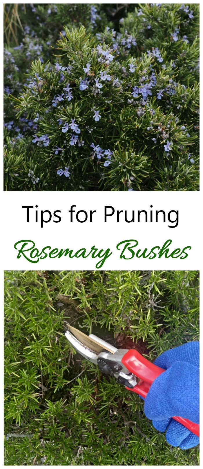 When to prune blueberries  Pruning Rosemary  How and When to Prune Rosemary Plants u Bushes
