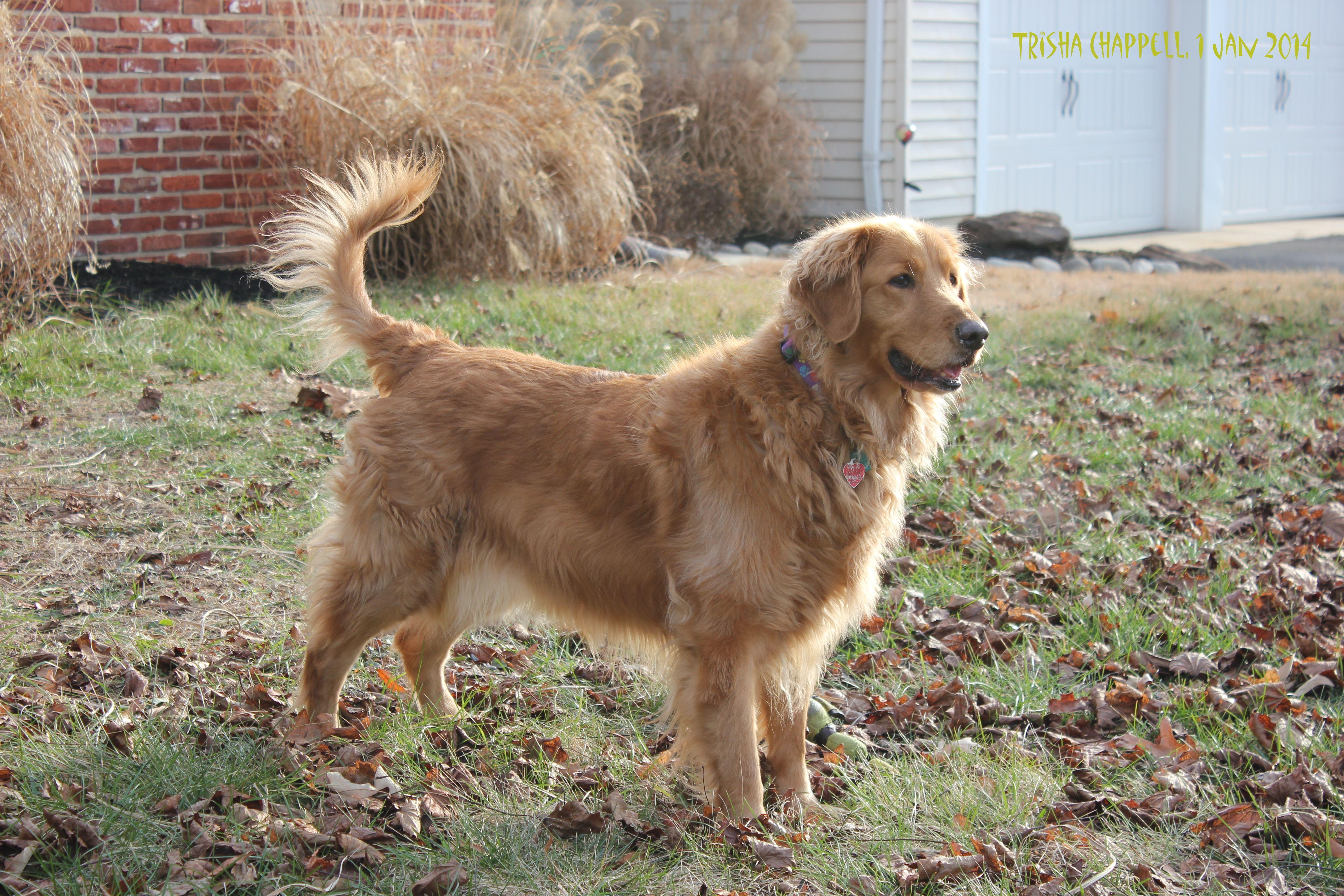 Ivy, our Golden Retriever.