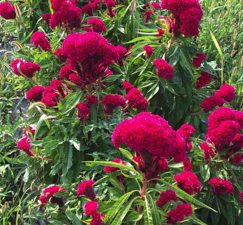 RARE CELOSIA CRISTATA CRESTED pink flowering exotic amish cock/'s comb 15 seeds