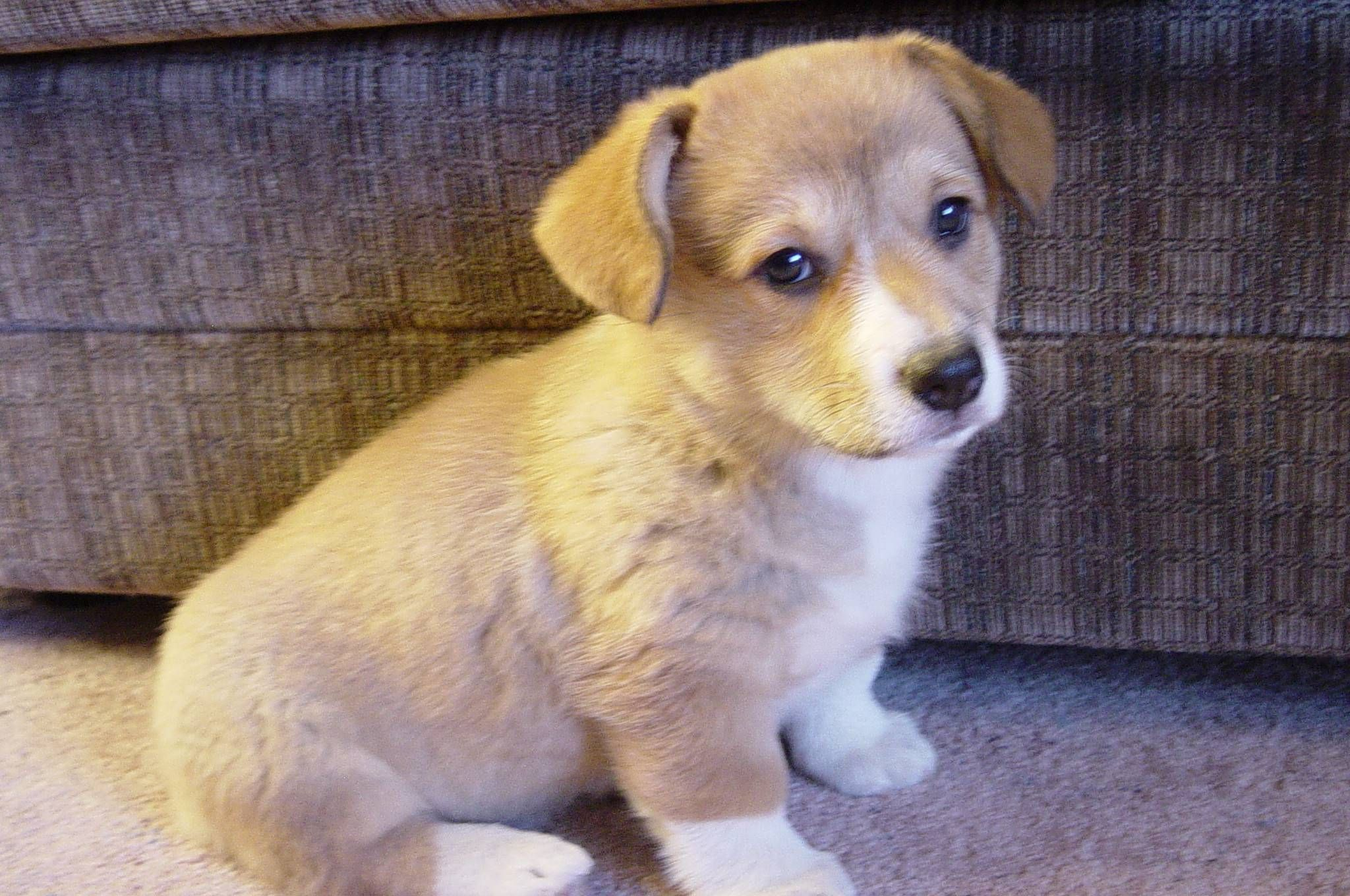 Wanted to share a picture of the Corgi puppy coming home to our house on Sunday