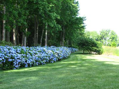 Views from the Garden: Shrubs for hedges in shade