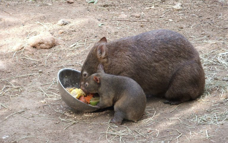 Wombat Day is a lighthearted way for Australians to