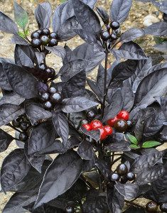 Black Pearl Ornamental Pepper, save the seeds for following year