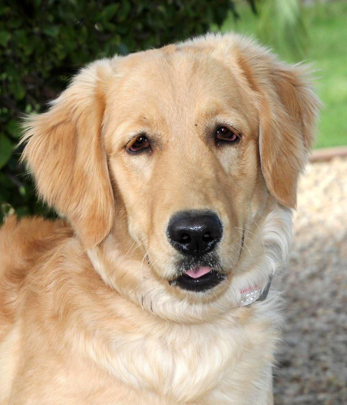 Golden Retriever Dog For Adoption In Glendale Az Adn 742988 On
