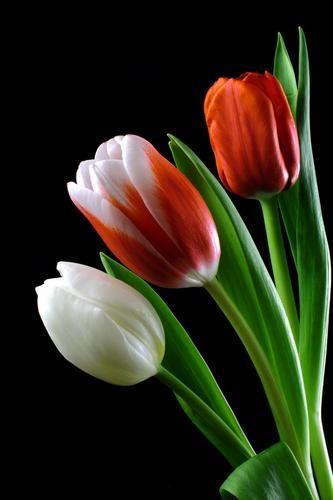 'Tulip Trio' by Robert Mann - DPC Prints!