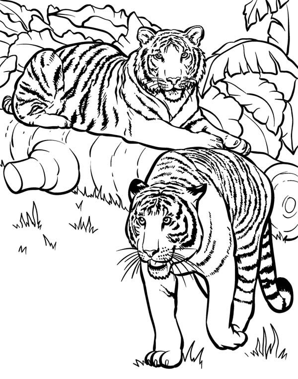 Tiger Two Tigers Ready For Hunting Coloring Page Zoo Coloring