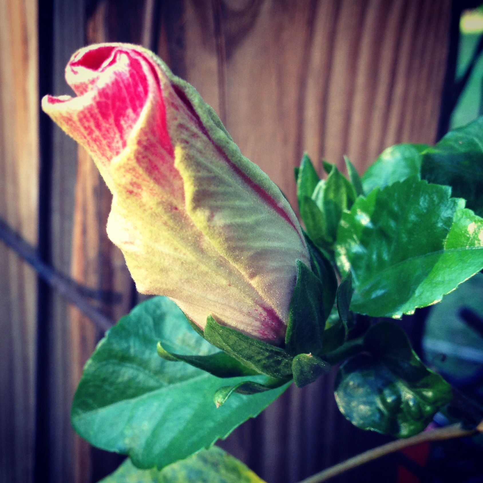 Hibiscus bud about to open