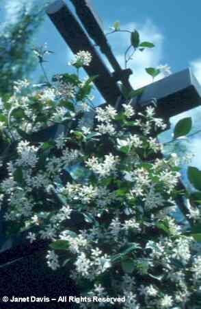Star Jasmine for the trellis.