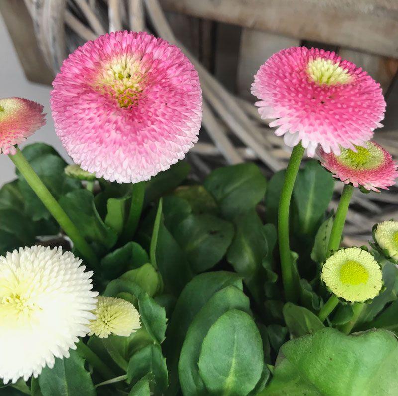 Bellis | Blumen, Frühlingsboten, Frühling