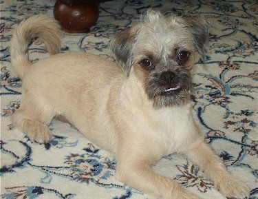 Pugapoo Pug Poodle Mix Info Temperament Puppies Training