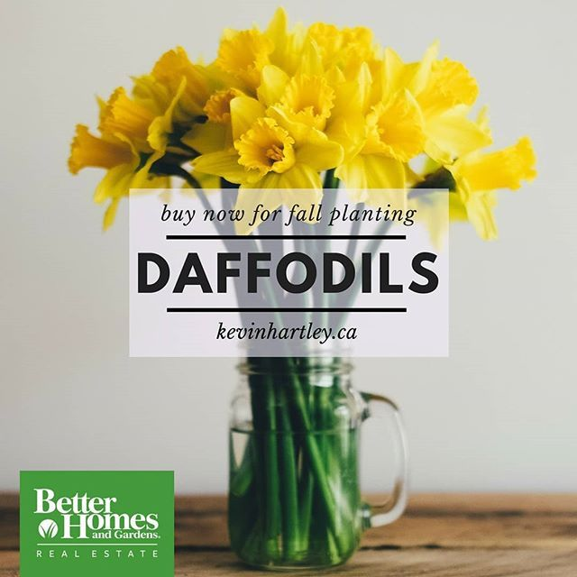 If You Enjoy Sunny Daffodils, Now Is The Time Too Buy