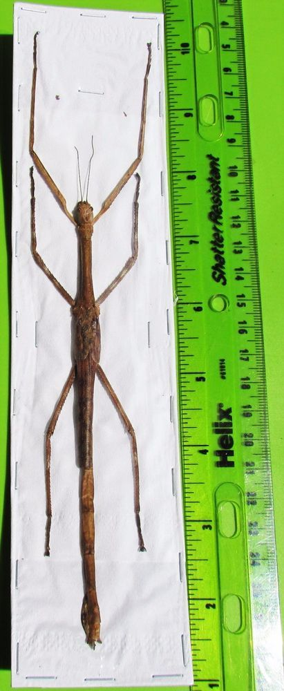 One Large Malaysian Flying Stick Necroscia punctata Female Spread FAST FROM USA