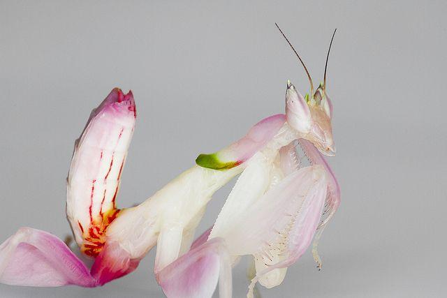 La mantis orquídea Hymenopus coronatus. INSECTOS