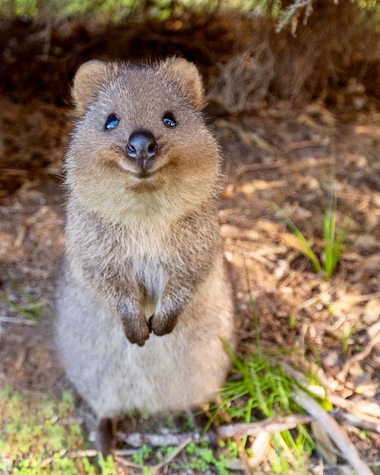 """quokka on Instagram: """"Its smile can cure everything ~ . . . credit:@cruzysuzy . . . #quokka #quokkas #perthl… 