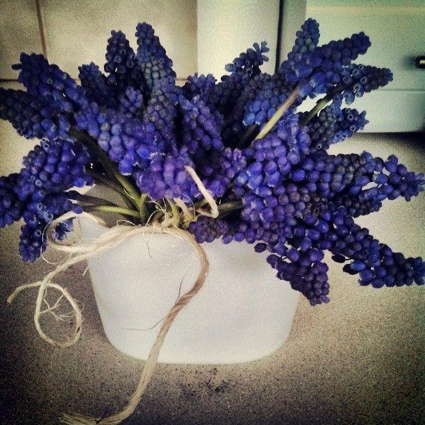 Sping hyacinth. Purple lovlies. Photo by nrmglr