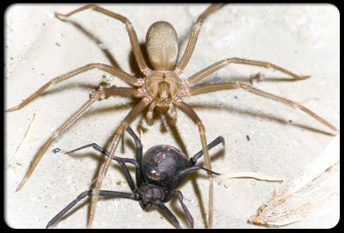 Nature Master Of Machinery Dangerous Spiders Brown Recluse Recluse Spider